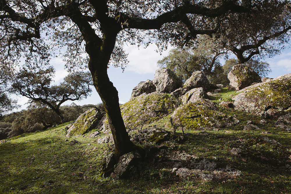 Encina trees (Holm Oaks) which produce the acorns on which the Iberico pigs feeds. The dehesa, Extramedura, Spain