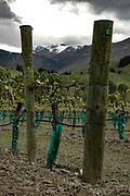 Amisfield vineyard