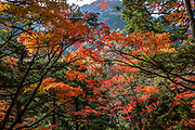 "Fall foliage colors. Kamikochi (""Upper Highlands"") is a high valley within the Hida Mountains, in Chubu-Sangaku National Park, Nagano Prefecture, Japan. Last logged in the mid 1800s, it is now a popular nature resort. Embraced within the ""Northern Alps"" of the Japanese Alps, the valley floor ranges from 1400 m (4600 ft) to 1600 m (5200 ft) elevation. Its highest peak is Okuhotakadake (3190 m or 10,470 ft)."