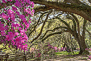 Centuries old Live Oak trees covered with spanish moss and surrounded by blooming azaleas during spring at Magnolia Plantation April 10, 2014 in Charleston, SC.