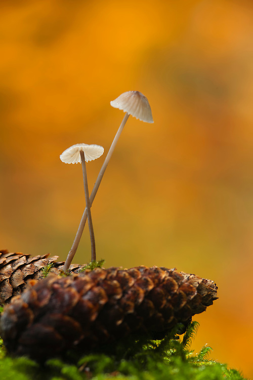 Two mushrooms , Milking Bonnet, Mycena galopus, between pine apples against orange background.