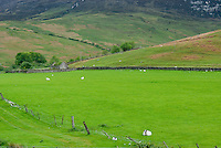 Sheep grazing below the Goatfell Highlands of Isle of Arran Scotland