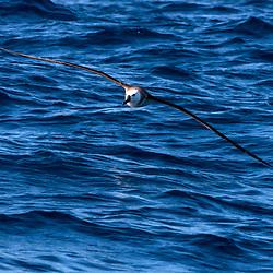 """Albatroz-de-nariz-amarelo (Thalassarche chlororhynchos) fotografado em Vitória, Espírito Santo -  Sudeste do Brasil. Oceano Atlântico. Registro feito em 2017.<br /> <br /> <br /> ENGLISH: Yellow-nosed Albatross photographed in Vitória, Espírito Santo - Southeast of Brazil. Atlantic Ocean. Picture made in 2017."""