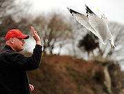 "Ed Waido feeds handfuls of potato chip leftovers to gulls at McCook Beach in East Lyme, Conn., Friday, March 9, 2012 in East Lyme. Waido, who stops to feed the gulls during his lunch break says ""Once they know you're not afraid of them they'll fly right up to you."" (Sean D. Elliot/The Day)"