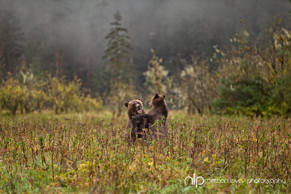 Female Grizzly and cub playing in field;  British Columbia in wild.