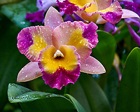 Orchids at Selby Gardens in Sarasota, Florida. Image taken with a Nikon D300 camera and 105 mm f/2.8 VR macro lens.