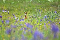 Roe deer, Capreolus capreolus, Siberian Iris, Iris sibirica, Eastern Slovakia, Europe, Sibirische Schwertlilie, Iris sibirica, Slowakei, Europa