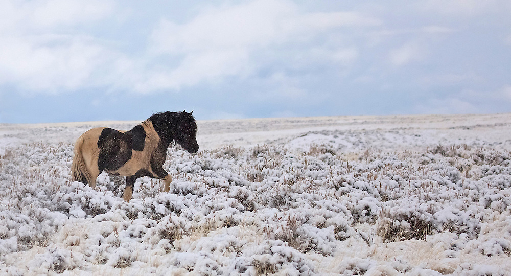 The wild stallion, Washakie, makes his way through the fresh snow at the McCullough Peaks Herd Management Area outside Cody, Wyoming.