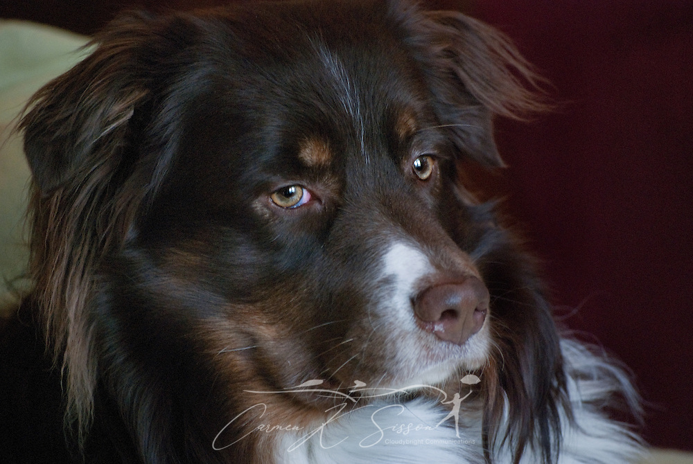 Cowboy, a three-year-old Australian Shepherd, looks out the window in Columbus, Miss. on Feb. 5, 2011. (Photo by Carmen K. Sisson/Cloudybright)