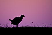 Pukeko at sunset, Otago Peninsula, New Zealand