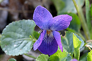 Flowers and leaves of a Sweet Violet (Viola odorata) in a backyard garden. Sweet Violets are also known as English Violet, Garden Violet, Sweet Violet, and Florist's Violet.