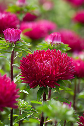 Aster 'Deep Red'