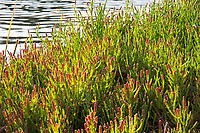 Also known as Virginia glasswort or pickleweed, this interesting saltwater-loving member of the amaranth family (Amaranthaceae) can be found in many seaside habitats with saltwater on the Pacific, Atlantic and Gulf Coasts. Extremely tough, it can grow in acidic, neutral and very alkaline soils, and new studies show that the seeds contain 32% fat, which means it has the potential for commercial use in the production of biofuel. Even more interesting and important, if it can be used commercially, this plant is a halophyte - meaning it doesn't require saltwater for irrigation so in the right conditions it might be grown anywhere. These dense mat of American glasswort was found growing in the Woodard Bay Conservation Area just outside of Olympia, Washington.
