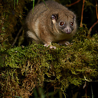 Vogelkop Ringtail (Pseudochirulus schlegeli), one of New Guinea's least studied possums, being known from only a few specimens. Like other ringtails, they are strictly nocturnal, emerging at night to feed on fruit and leaves. Arfak Mountains, West Papua, Indonesia.