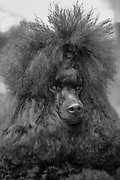 Dog show champion Israel, closeup portrait of a Brown miniature Poodle presenting itself at a dog show. Property Release Available