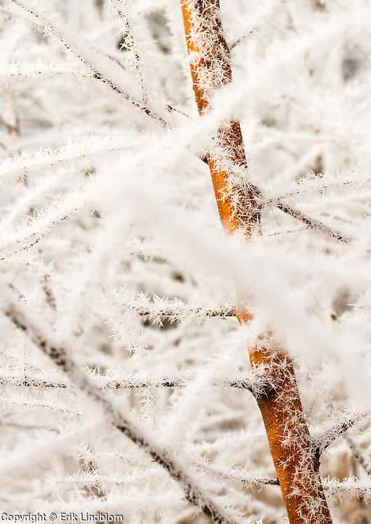 Branches of a bush covered by hoarfrost close up.