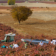 Wine Harvest, García Figuero Winery, La Horra, Burgos, Rivera del Duero, Spain.