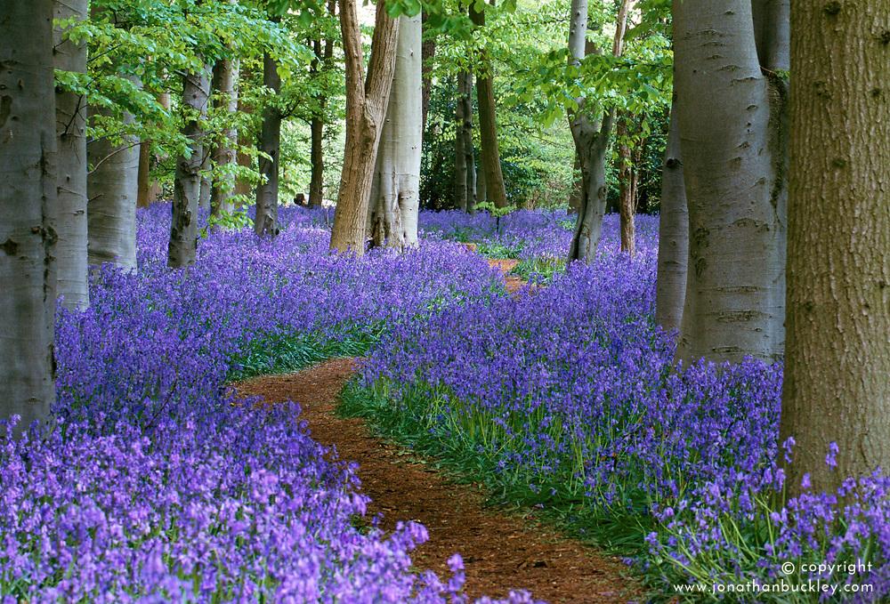 Path through the bluebell wood at Coton Manor, Northamptonshire - Hyacinthoides non-scripta syn. Scilla non-scripta, English bluebell