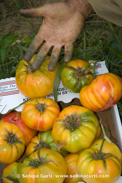 Dominic Palumbo picks organic heirloom tomatoes on Moon in the Pond Farm, Sheffield, MA