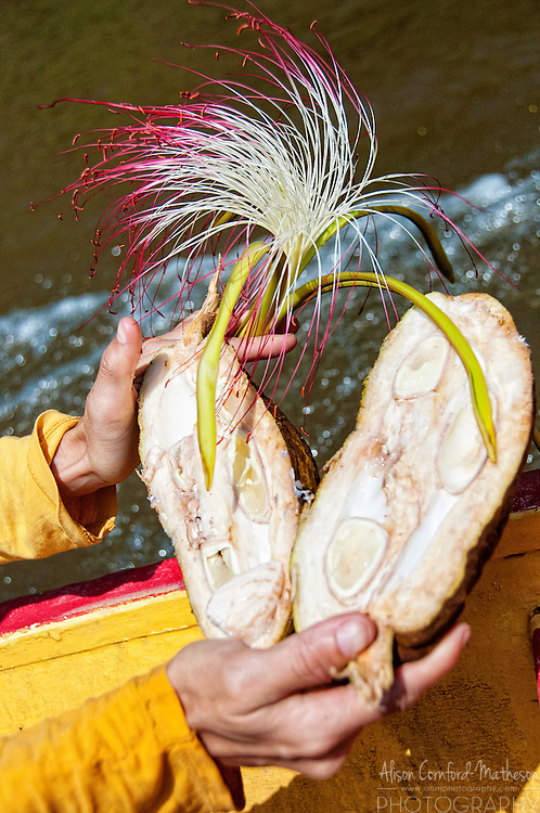 River Cacao flowers and seeds are abundant along the rivers of French Guiana