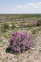 Texas Purple Sage or Cenizo, (Leucophyllum frutescens), near Pecos River, Rt. 90, Val Verde County, TX