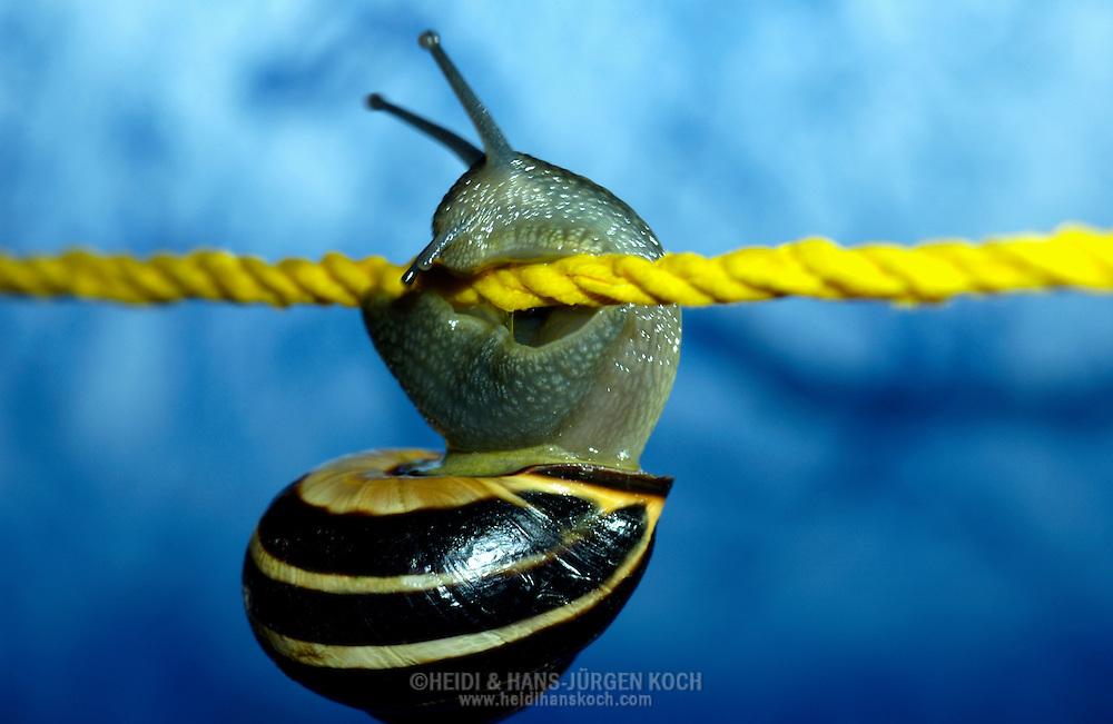Deutschland, DEU, 2002: Nachdem sie die Balance verloren hat, haelt sich eine Hain-Baenderschnecke (Capaea nemoralis) mit ihrem muskuloesen Fuss am Seil fest. | Germany, DEU, 2002: Garden snail (Capaea nemoralis) holding on a rope with it's muscular creep sole after loosing the balance. |