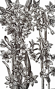 Varieties of Narcissus or Daffodil. Woodcut from 'Paradisi in Sole Paradisus Terrestris' by John Parkinson (London, 1629). Horticulture Garden Flowers Bulb