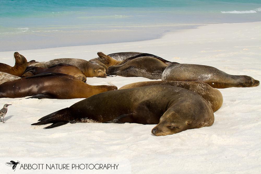 Galapagos Sea Lion (Zalophus californianus wollebaeki or Zalophus wollebaeki) <br /> ECUADOR: Galapagos Islands<br /> Hood (Espanola) Island; Gardner Bay<br /> 20-Aug-2010<br /> J.C. Abbott &amp; K.K. Bauer