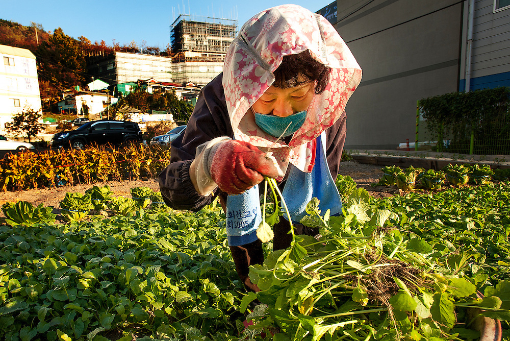 A woman collects produce from a community garden in Busan, South Korea, November 22, 2013.