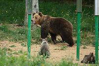 Brown bear, Ursus arctos, Wildlife watching place, North Velebit National Park,  Velebit Nature Park, Rewilding Europe rewilding area, Velebit  mountains, Croatia