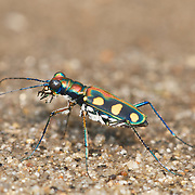 Tiger Beetle, Cosmodela aurulenta,  juxtata, tiger beetles, insect, insects, beetle,