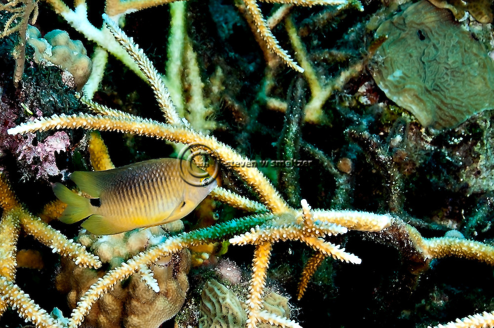 Threespot Damselfish, Stegastes variabilis, Caribbean