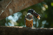 Ringed Kingfisher (Megaceryle torquata)<br /> Northern Pantanal<br /> Mato Grosso<br /> Brazil