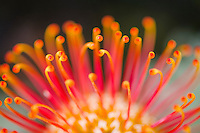 Leucospermum cordifolium or pincushion flower detail, Heuningberg Nature Reserve, Bredasdorp, Western Cape, South Africa