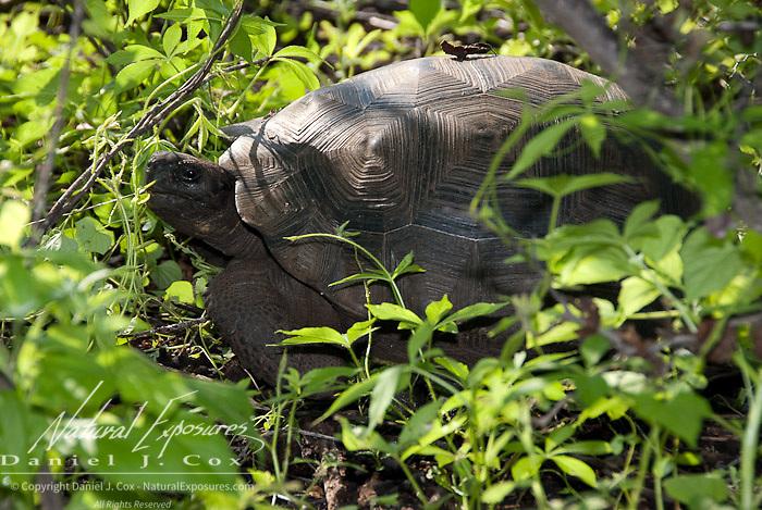 Giant Tortoise (Geochelone elephantopus) Grazing under a tree surrounded by foliage. Galapagos Ecuador.
