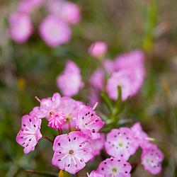 Pale laurel, Kalmia polifolia, blooms on Mount Monroe in New Hampshire's White Mountain National Forest.