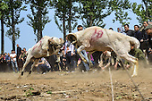 Sheep Fighting in China