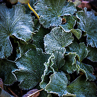 Leaves of the Lady's Mantle, rimmed by frost (Alchemilla mollis)