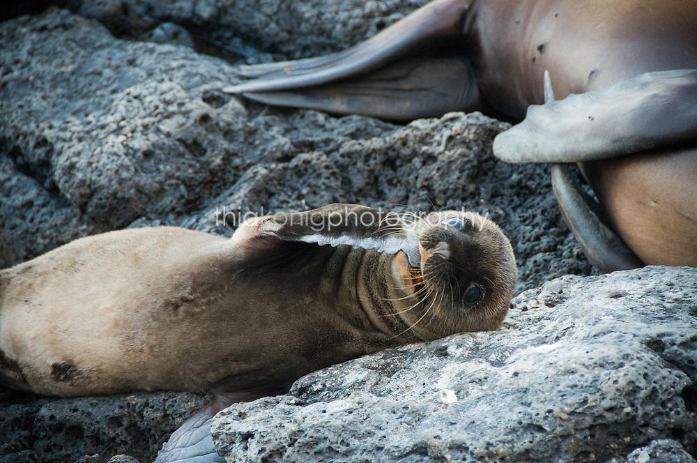 A baby sea lion sucks his 'thumb', Galapagos Islands.
