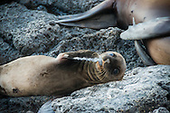 A baby sea lion sucks his 'thumb', Galapagos Islands.