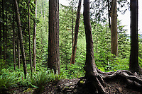 View looking into a northwest forest, Washington Cascades.