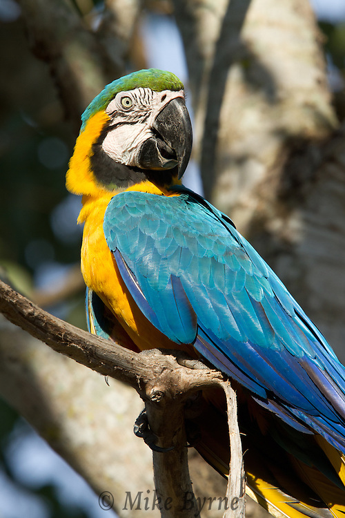 Blue and Gold Macaw (Ara ararauna) perched on a branch near Araras Eco Lodge (Pantanal, Mato Grosso, Brazil)