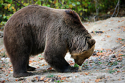ROMANIA ZARNESTI 27OCT12 - A rescued Eurasian brown bear paces in an enclosure at the Zarnesti Bear Sanctuary in Romania, funded by WSPA...With over 160 acres (70 hectares) spread over a wooded hillside, it is Romania's first bear sanctuary and today houses 67 bears rescued from ramshackle zoos and cages at roadside restaurants.......jre/Photo by Jiri Rezac / WSPA..© Jiri Rezac 2012