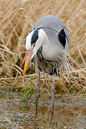 Grey Heron Ardea cinerea L 90-98cm. Familiar wetland bird. Stands motionless for long periods. Flies on broad wings with slow, deep wingbeats; neck is held hunched. Sexes are similar. Adult has whitish grey head, neck and underparts with dark streaks on front of neck and breast; note white forecrown and black sides to crown leading to black nape feathers. Back and upperwings are blue-grey; flight feathers are black. Dagger-like bill is yellowish. Juvenile is similar but crown and forehead are dark grey. Voice Utters a harsh krrarnk in flight. Status Common resident. Favours freshwater wetlands but also on coasts in winter.