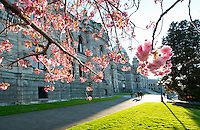 The British Columbia Parliament Buildings are located in Victoria, BC, Canada and are home to the Legislative Assembly of British Columbia. In early spring decorative cherry trees are in full bloom in the front gardens of the Assemby buiding.