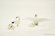 Trumpeter Swan&quot;<br /> Jackson, Wyoming<br /> <br /> Family bonds among Trumpeter Swans are tight. Not only do the adults pair-bond for life, they band together to protect their newly hatched, downy cygnets. <br /> <br /> Edition of 500