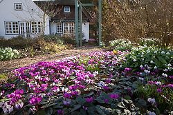 Looking towards the house with Cyclamen coum and Galanthus woronowii in the foreground