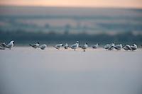 Black-headed gull (chroicocephalus ridibundus), Lake Belau, Moldova