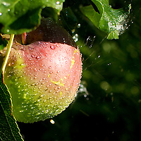 apple with water droplets