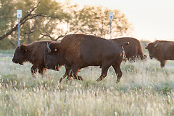 Bison grazing near park headquarters, Texas State Bison Herd, Caprock Canyons State Park, Quitaque, Texas USA.